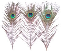 Small Natural Peacock Feathers, 10
