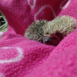 Introduction to Pygmy Hedgehogs
