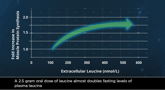 INCREASING BLOOD LEVELS OF LEUCINE IS KEY TO BUILDING MUSCLE