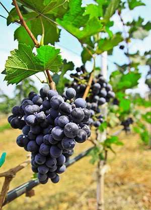 vineyard supplies - grapes