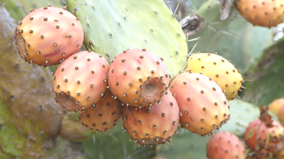 The Amazing Benefits of Prickly Pear Seed Oil
