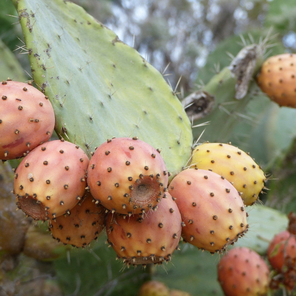 Pure Prickly Pear Seed Oil - Bahia Cosmetics - 2