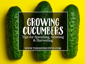 Growing & Caring for Cucumbers