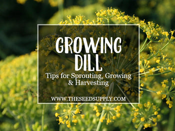 Growing & Caring for Dill