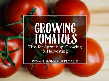 Growing & Caring for Tomatoes