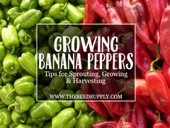 how to grow banana peppers