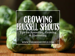 how to grow brussell sprouts