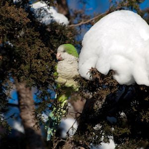 How The Wild Parrots of Brooklyn Survive Winter