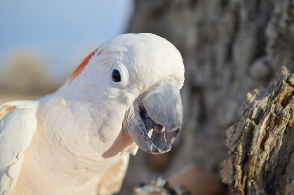 Cockatoo at Birdsupplies.com