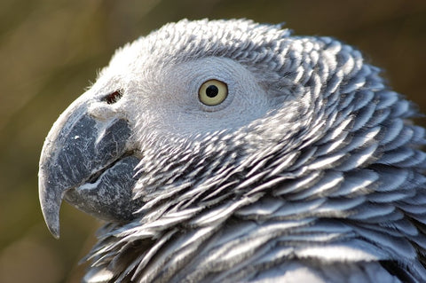 African Grey Parrots are particularly prone to calcium deficiency