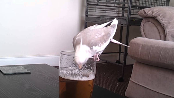 Bird Drinking Beer