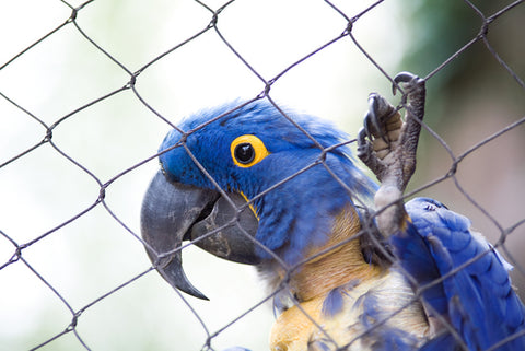 Feather Plucked Hyacinth Macaw