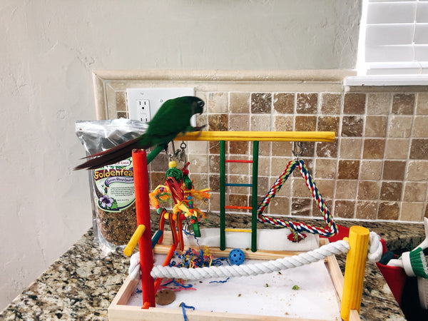 Clicker training for birds to stay on a play stand