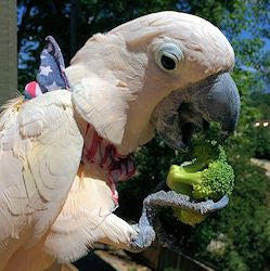 The Parrot Feather Plucking Diet Should insure adequate amounts of calucium