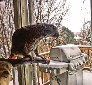 How do parrots survive in the winter?