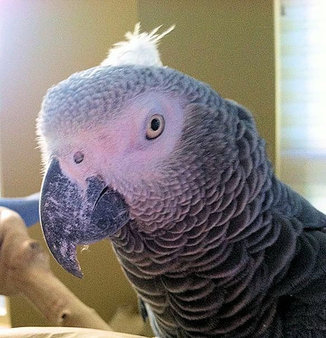 Parrot Biting Smokey, African Grey