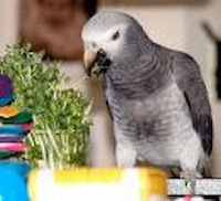 African Grey Eating Sprouts