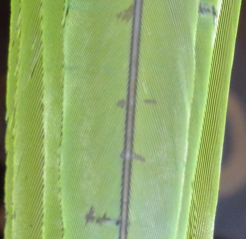 What do stress bars on feathers look like