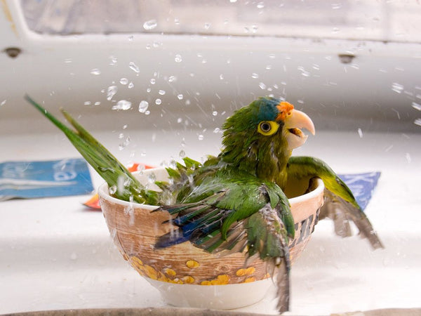 Bathing a parrot