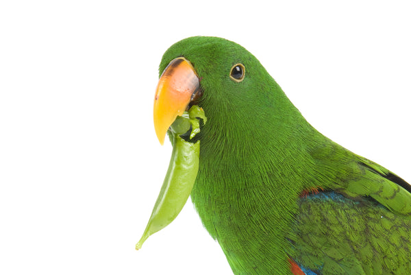 Eclectus Food