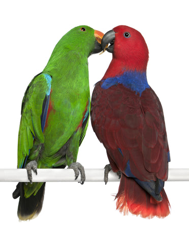 Pair of Eclectus Parrots