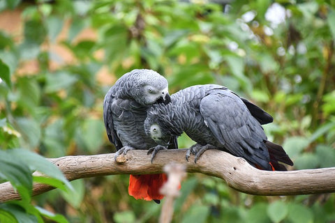 hormonal behaviour in parrots