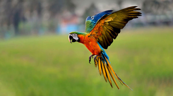 What you should know about flying parrots
