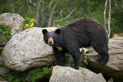 Black Bear in the Great Smoky Mountains