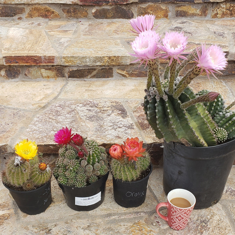 Echinopsis and Trichocereus are Blooming in April