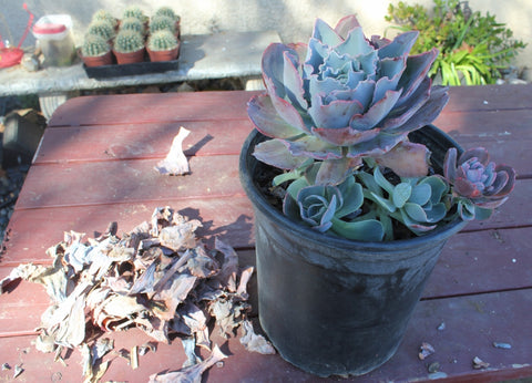 Quot Help My Succulent Is Dying It Has Dead Leaves Quot