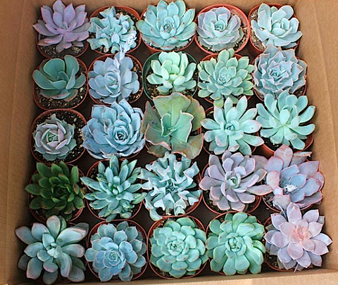 4 inch rosette succulents for sale