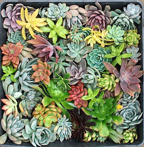 rosette wedding succulent cuttings