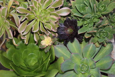 succulents-for-sale