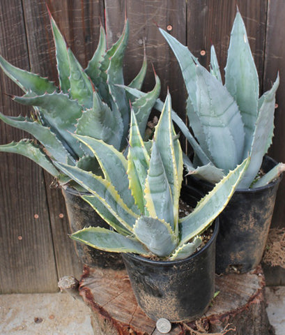 agaves-for-sale