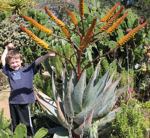 aloes-for-sale