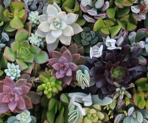 echeveria for sale