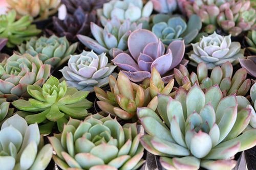 succulent wedding favors wholesale shower gifts