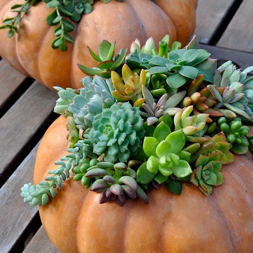 succulent season pumpkin DIY