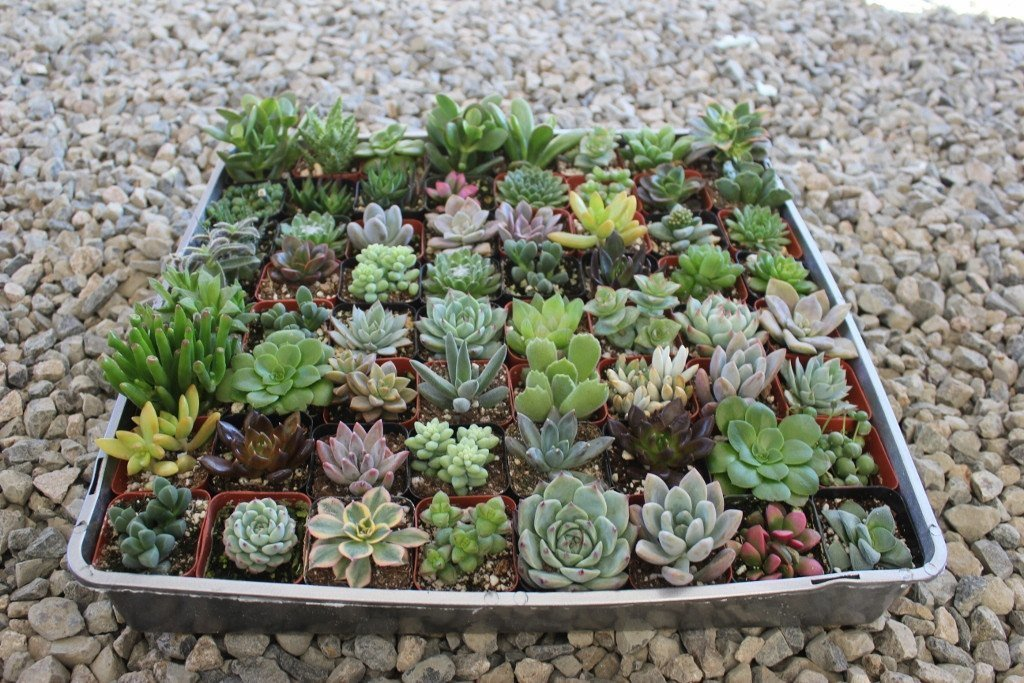 succulent plants for events