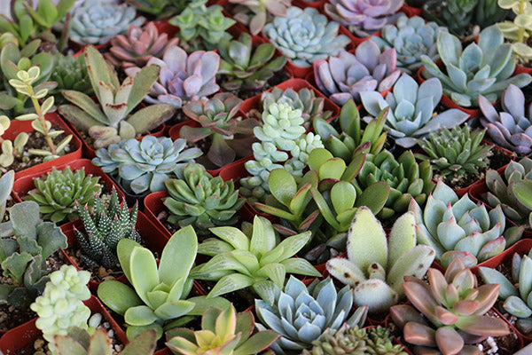 succulent wedding favors bulk succulents plant prices