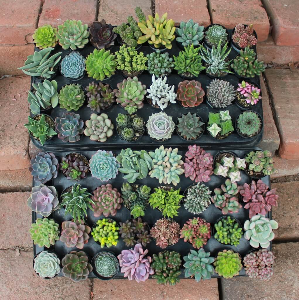 Succulent of the month club send gift succulents succulent of the month club succulents why should i join izmirmasajfo
