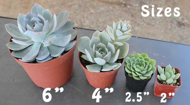 Succulent Size Comparison