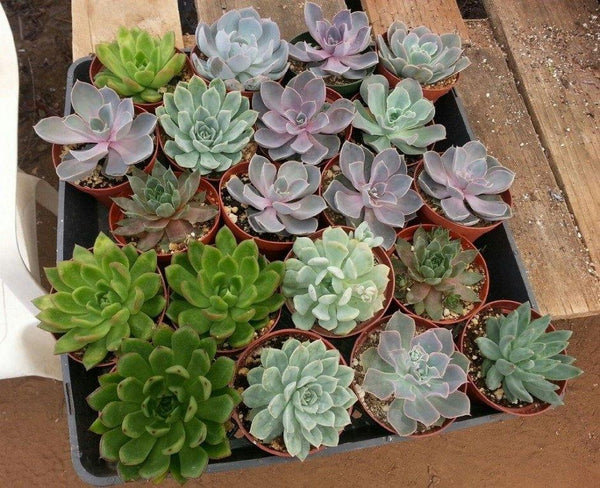 "4"" Rosette Succulents bulk wholesale succulent prices at the succulent source - 2"