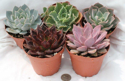 "4"" Rosette Succulents bulk wholesale succulent prices at the succulent source - 3"