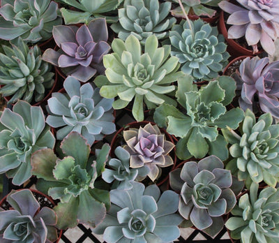 "4"" Rosette Succulents bulk wholesale succulent prices at the succulent source - 4"