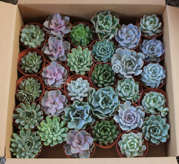 "4"" Rosette Succulents bulk wholesale succulent prices at the succulent source - 6"
