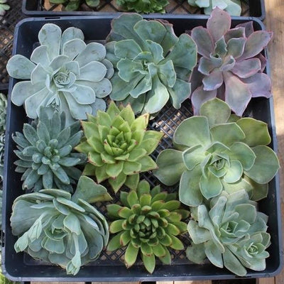 Cuttings - Wedding Rosette Succulents