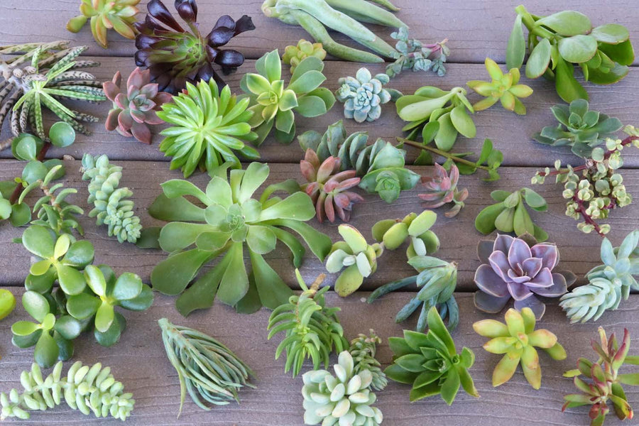 Cuttings - Assorted Succulents bulk wholesale succulent prices at the succulent source