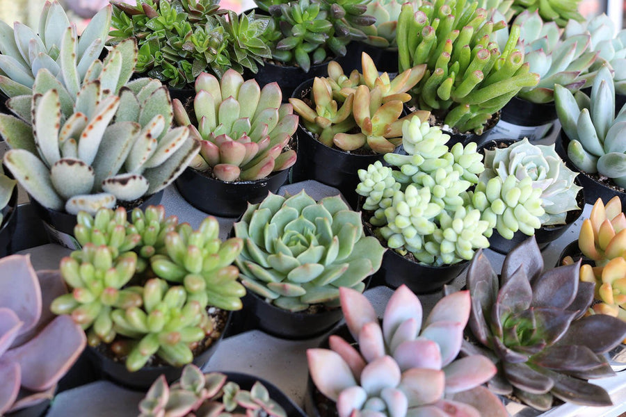 "2.5"" Assorted Succulents bulk wholesale succulent prices at the succulent source - 1"