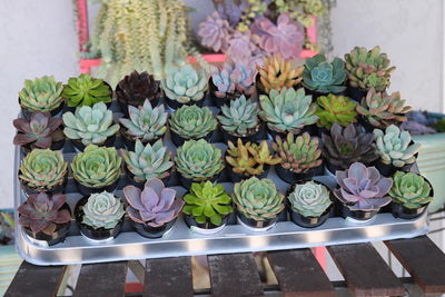 "2.5"" Rosette Succulents bulk wholesale succulent prices at the succulent source - 4"